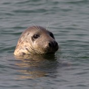 <!--:nl-->De grijze zeehond: the killer seal<!--:-->