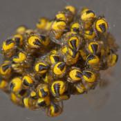 Kruisspinnen en hun waardeloze liefdesleven