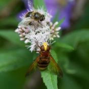 Hommels, bijen, hommels, bijen, zweefvliegen, hommels….