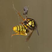 De stelende wesp
