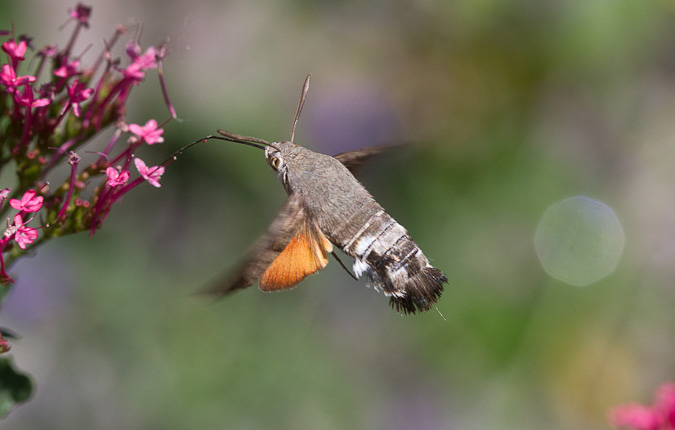 kolibirevlinder