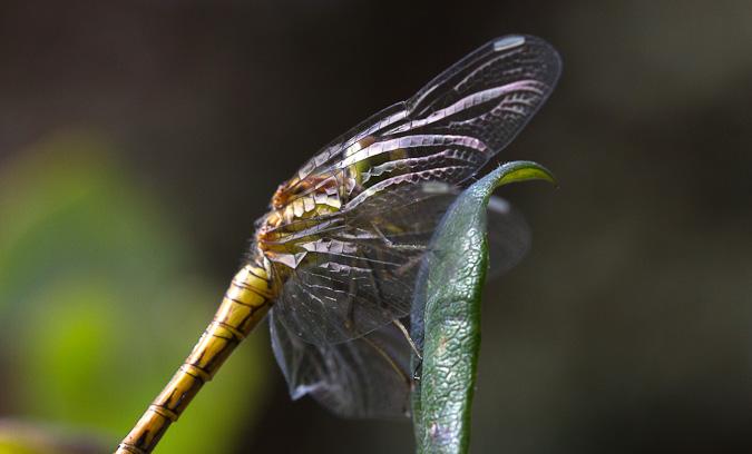 bruinrode heidelibel man