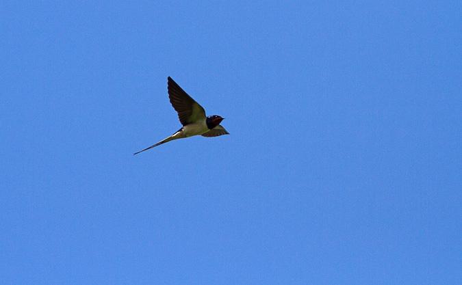 boerenzwaluw vliegend