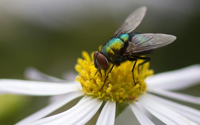 keizersvlieg