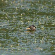 Dodaars jong duikt