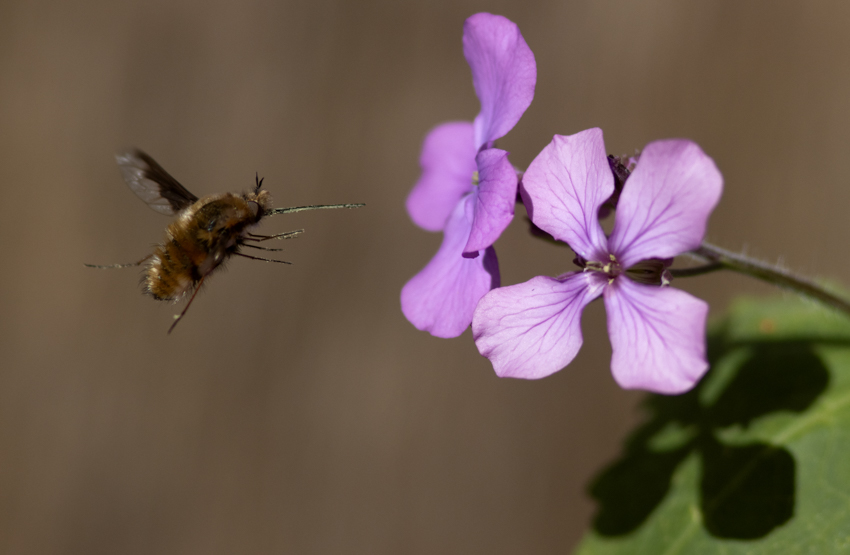 Wolzwever Bombylius major